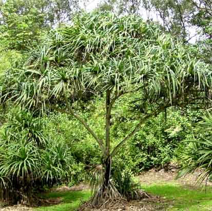 Hala_tree_hawaii