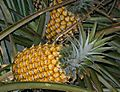 Hawaii-pineapple