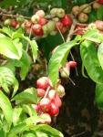 Mountain-apples-hawaii
