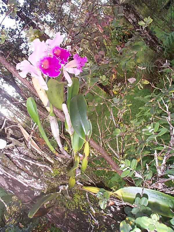 Cattleya-on-tree