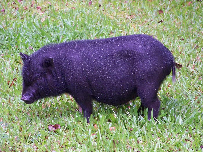 Pig-side-view