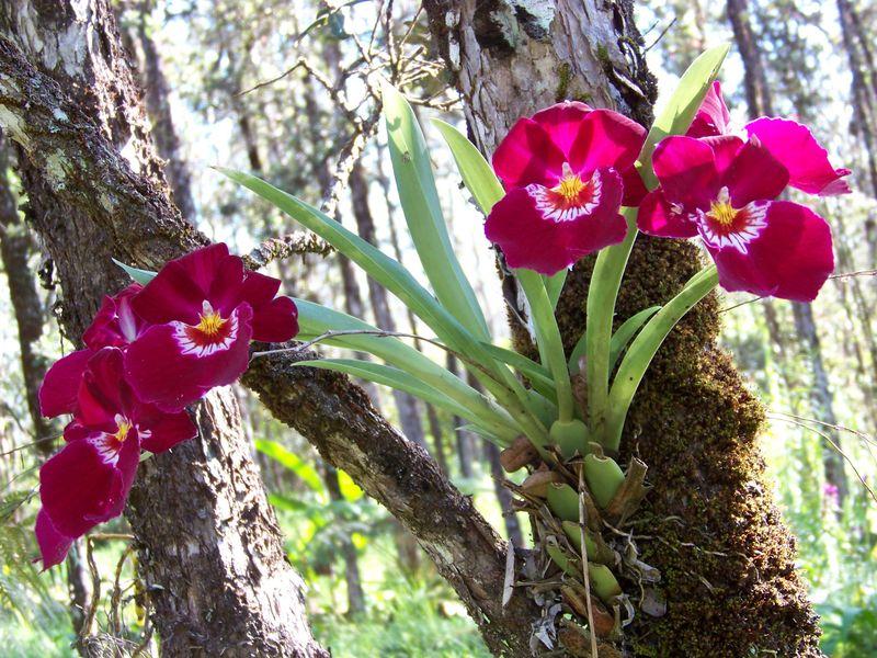 Miltonia-purple-orchids