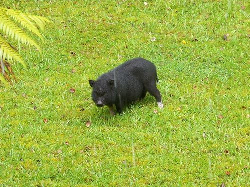 Pig-on-grass