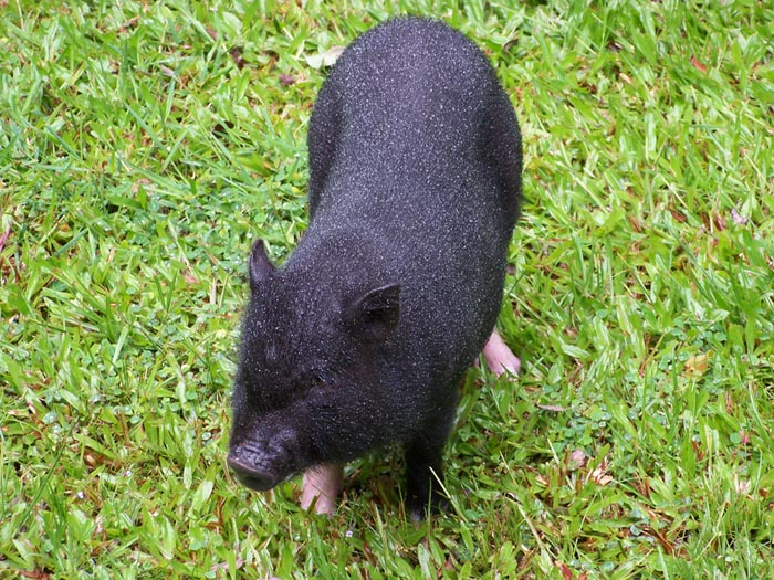 Pig-front-view