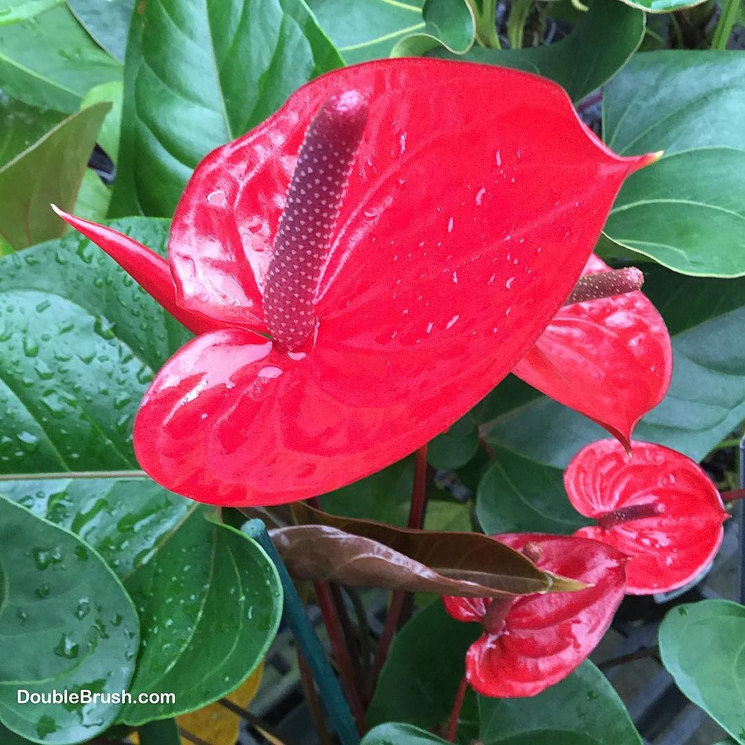 Rainy Day In Hilo Hawaii But The Anthurium Flowers Love It