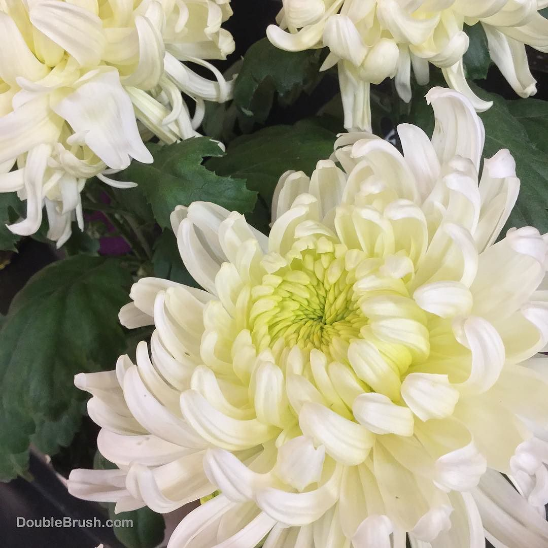 Happy new year in hawaii the supermarkets start selling white happy new year in hawaii the supermarkets start selling white chrysanthemum flower plants for asian cultural new year decor mightylinksfo