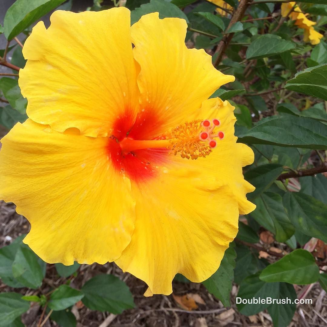 Aloha lovelies heres a yellow hibiscus flower to brighten your 1623038018677823401363996788527936854032384ng izmirmasajfo Gallery