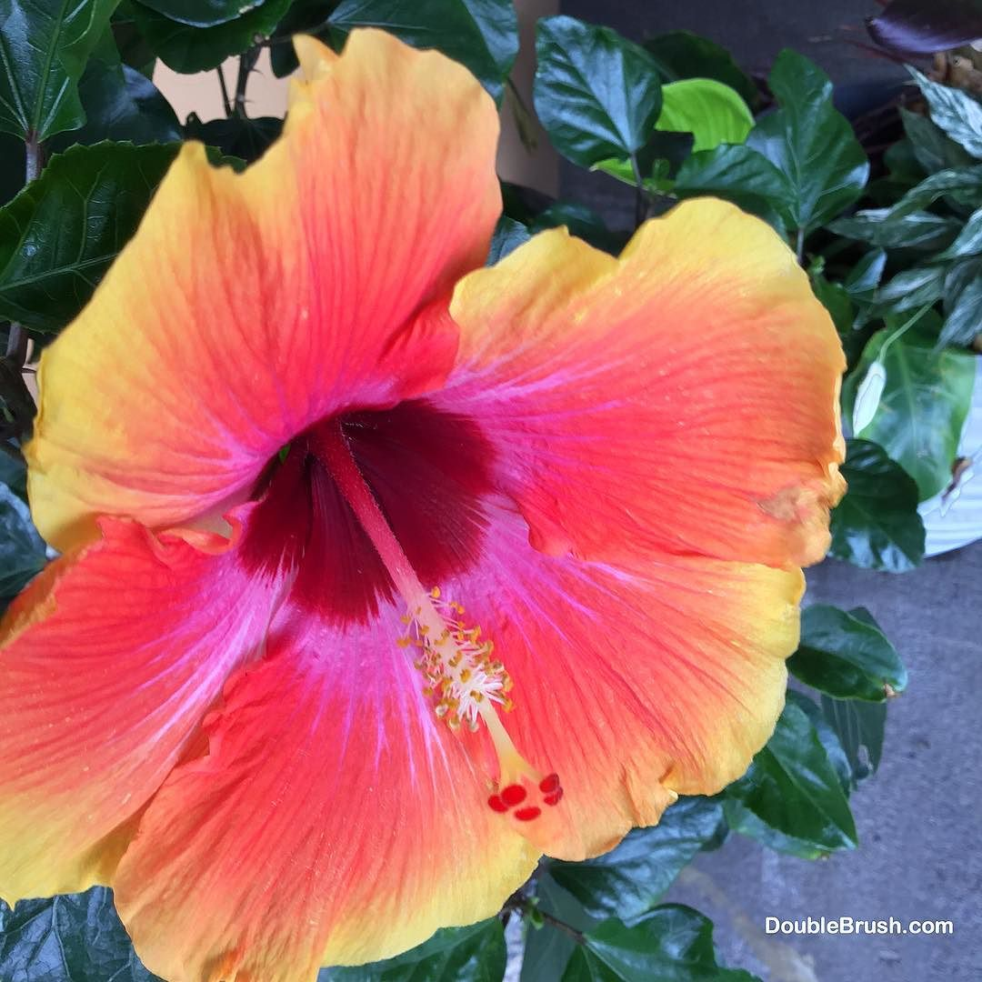 Happy Aloha Friday This Beautiful Hibiscus Flower Was Growing In