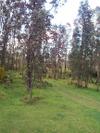 Ohiaforest